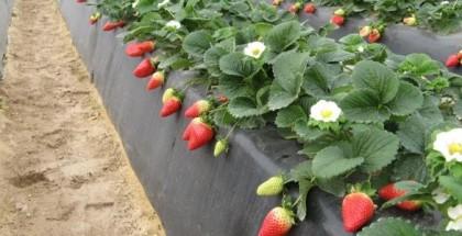 شاهد.. بداية موسم زراعة الفراولة في شمال قطاع غزة