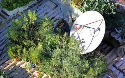 بالصور.. تيسير أبو دان ينجح في تحويل سطح منزله لحديقة خضراوات عضوية