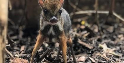 شاهد بالفيديو.. ولادة حيوان غريب يجمع صفات الغزال والفأر!