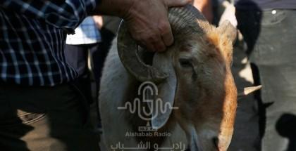 الزراعة بغزة : الأضاحي متوفرة بكميات وأسعار مناسبة
