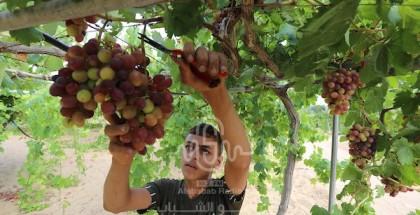 موسم حصاد ثمار العنب في مدينة غزة