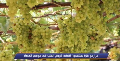 مزارعو غزة يستعدون لقطف كروم العنب في موسم الحصاد