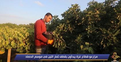 مزارعو قطاع غزة يبدأون بقطف ثمار التين في موسم الحصاد