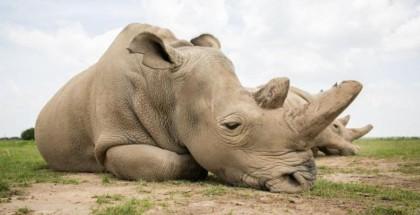 حيوانات وحيد القرن معرضة للانقراض والسبب؟