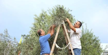 في موسم الزيتون ...مجلس العمال بساحة غزة يطلق حملته التطوعية ويطالب بحل مشاكل العمال وإسنادهم